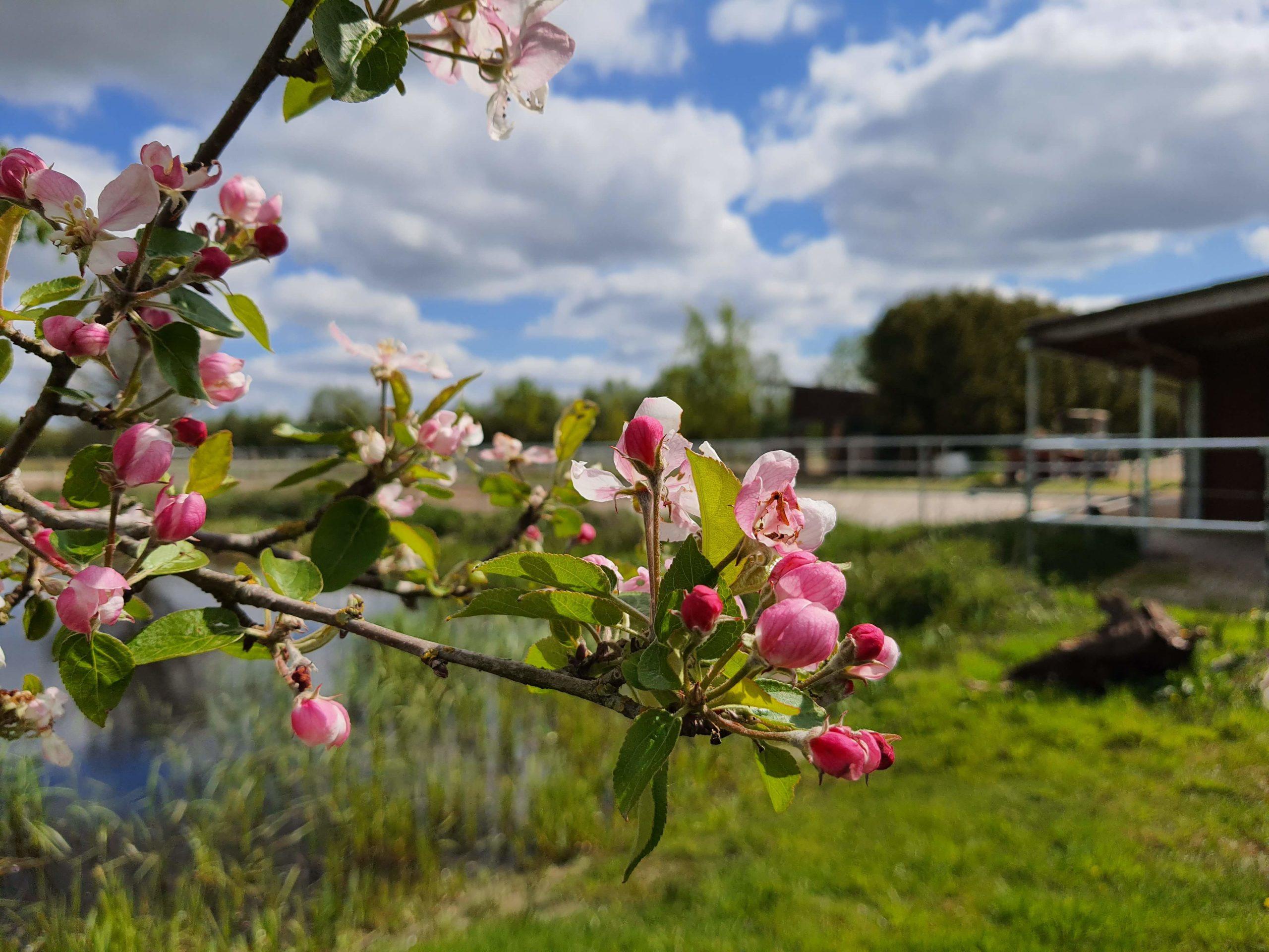Apfelblühten im Frühling Pianova Ferienwohnungen